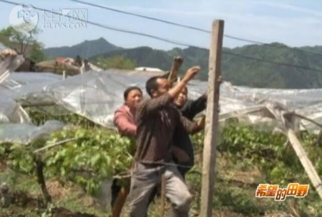资源:极端天气使农作物受损 专家指导果农开展自救