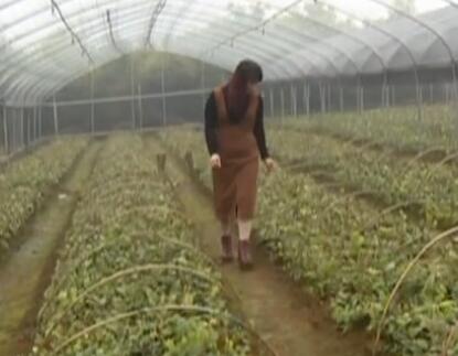 覃春香:刻苦钻研种植技术 金花茶铺就致富路