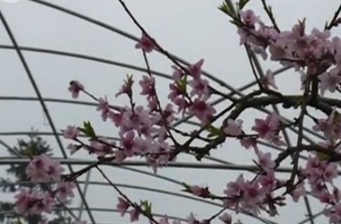 灵川海洋:从量变到质变 多措并举做大桃花产业