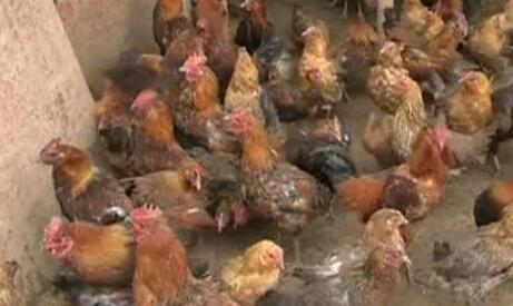 春季养鸡的一些防疫措施和方法
