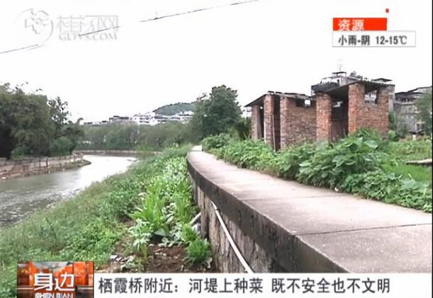 栖霞桥附近:河堤上种菜  既不安全也不文明